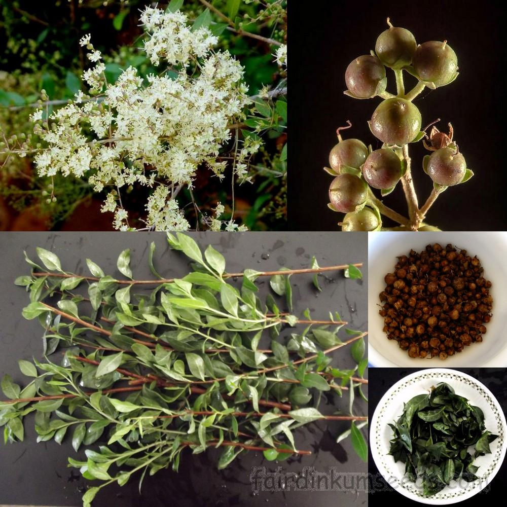 Henna Meyhndi Lawsonia Inermis Seed Fair Dinkum Seeds