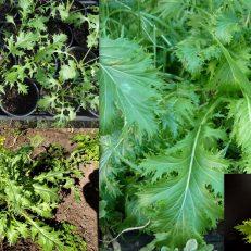 Mizuna Mustard Green Brassica Rapa Nipponosica Seeds