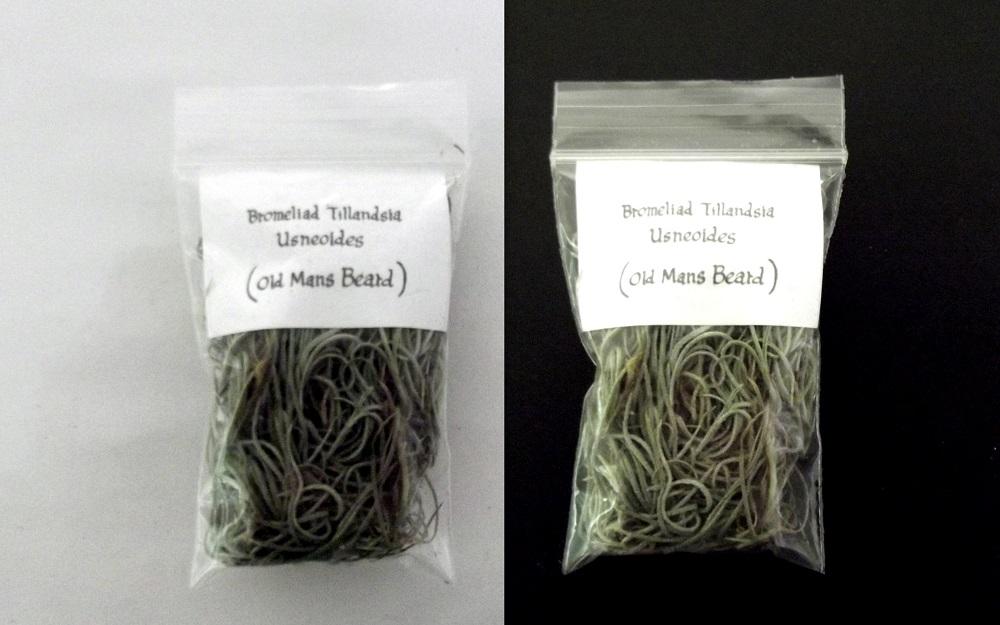old mans beard spanish moss tillandsia usneoides plant fair dinkum