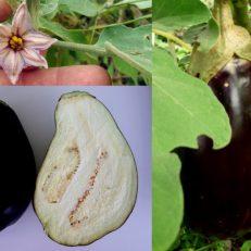 Black Eggplant Aubergine Solanum Melongena Seeds