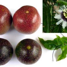 Panama Red Passionfruit Passiflora Edulis Seeds