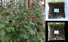 Leonotis Nepetifolia 50grams Dried Leaves & Flowers