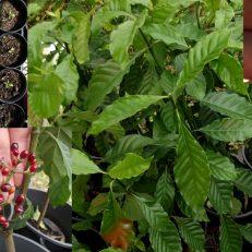 Psychotria Carthagenensis Alba Amyruca Samiruka Fresh Berries