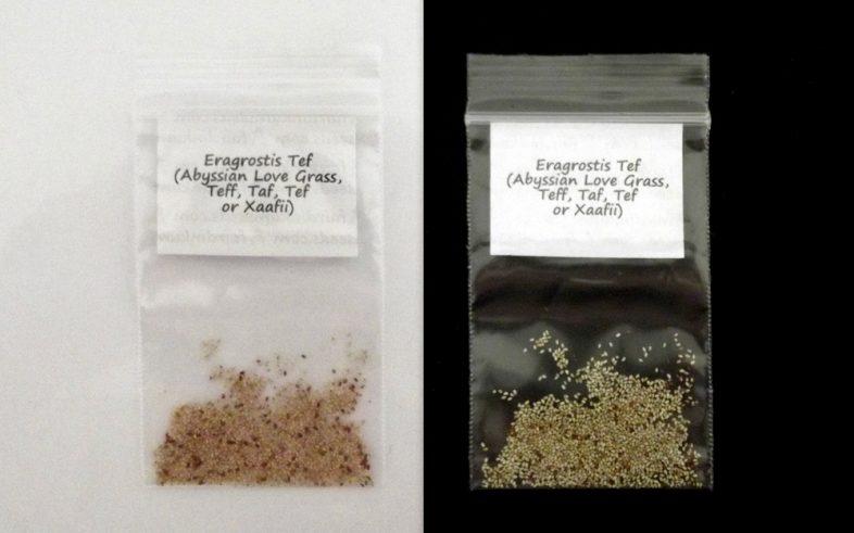 Teff Eragrostis Tef Xaafii Grass Seeds