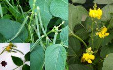 Rice Paddy Bean Vigna Umbellata Seeds