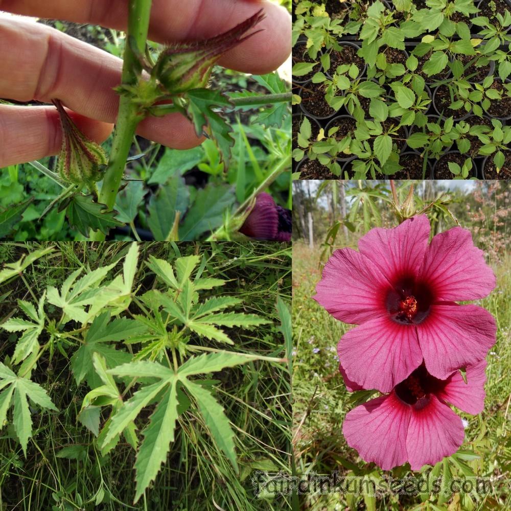 Hibiscus Cannabinus Red Kenaf Brown Indian Hemp Seeds Fair Dinkum